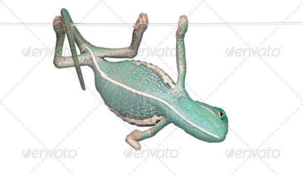 Young veiled chameleon, Chamaeleo calyptratus, hanging on a string in front of white background - Stock Photo - Images