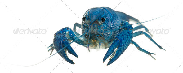 Blue crayfish - Stock Photo - Images