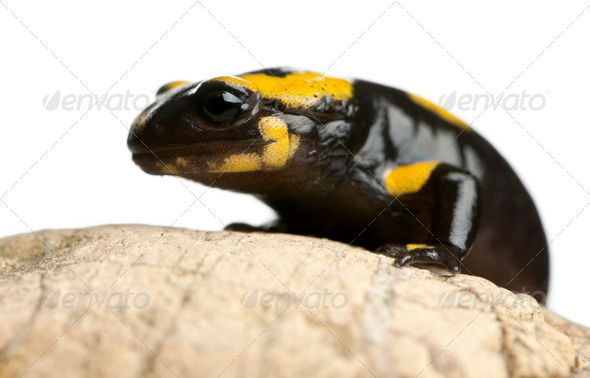 Fire salamander on rock, Salamandra salamandra, in front of white background - Stock Photo - Images