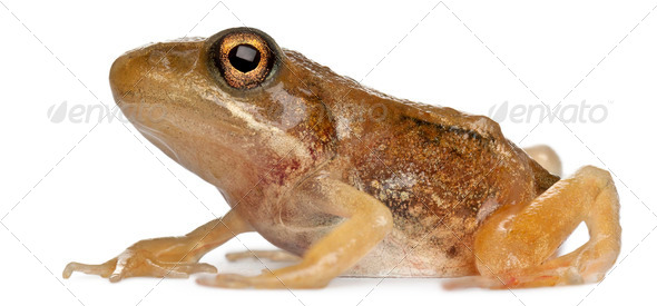Nearly adult Common Frog, Rana temporaria, 16 weeks old, in front of white background - Stock Photo - Images