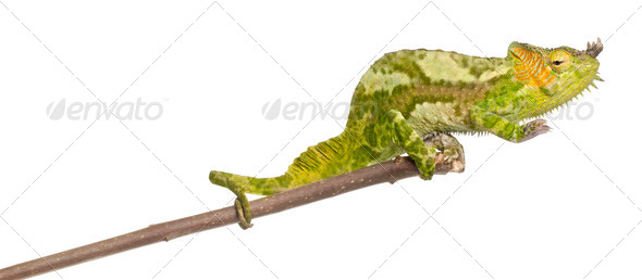 Four-horned Chameleon, Chamaeleo quadricornis, perched on branch in front of white background - Stock Photo - Images