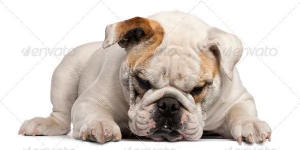 English Bulldog, 8 months old, lying in front of white background - Stock Photo - Images