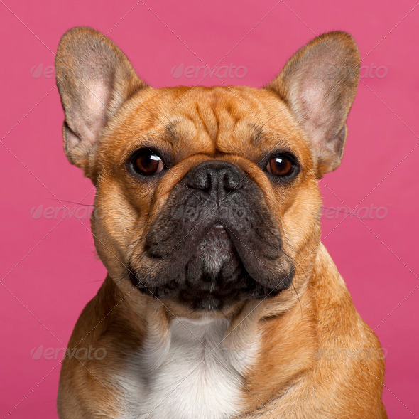 Close-up of French Bulldog, 1 year old, in front of pink background - Stock Photo - Images