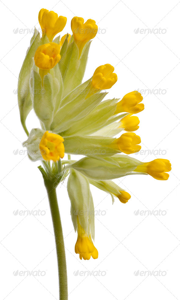 Close-up of Yellow primrose flower - Stock Photo - Images