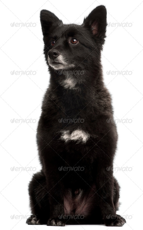 German Spitz, 5 years old, sitting in front of white background - Stock Photo - Images
