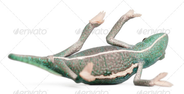 Young veiled chameleon lying on his back, Chamaeleo calyptratus, in front of white background - Stock Photo - Images