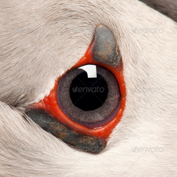 Close-up of Atlantic Puffin eye or Common Puffin eye, Fratercula arctica - Stock Photo - Images