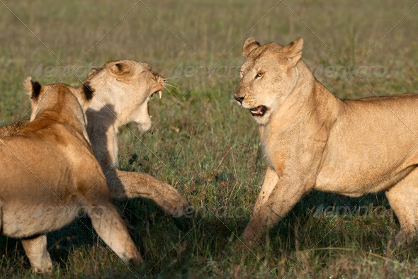 Lioness playing together at the Serengeti National Park, Tanzania, Africa - Stock Photo - Images