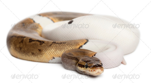 Female Pinstripe Pied Royal python - Stock Photo - Images