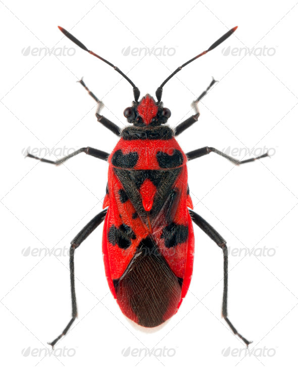 High angle view of Scentless plant bug, Corizus hyoscyami, in front of white background - Stock Photo - Images