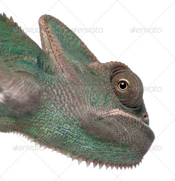Young veiled chameleon, Chamaeleo calyptratus - Stock Photo - Images