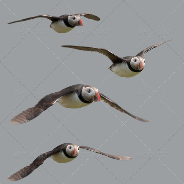 Atlantic Puffin or Common Puffin flying in midair, Fratercula arctica, Mykines, Faroe Islands - Stock Photo - Images