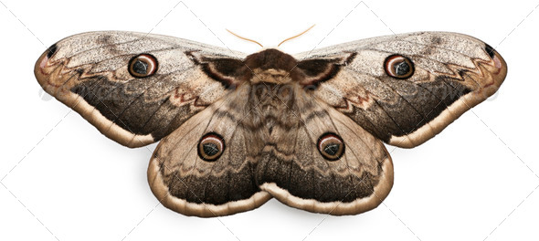 The largest European Moth, the Giant Peacock Moth, Saturnia pyri, in front of white background - Stock Photo - Images