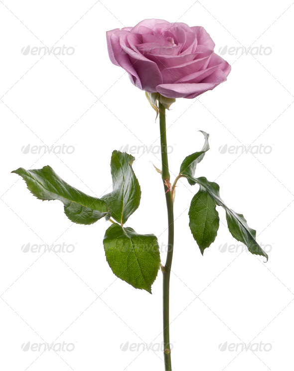 Rose, Rosa aqua, in front of white background - Stock Photo - Images