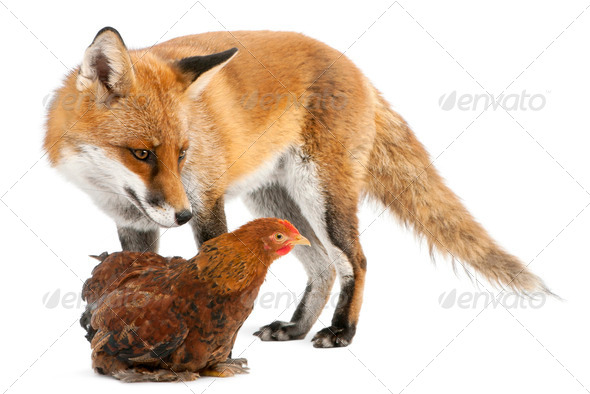 Red Fox, Vulpes vulpes, 4 years old, playing with a hen in front of white background - Stock Photo - Images