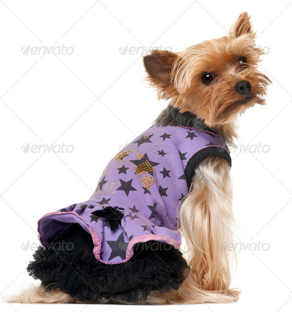Yorkshire Terrier wearing purple dress in front of white background - Stock Photo - Images
