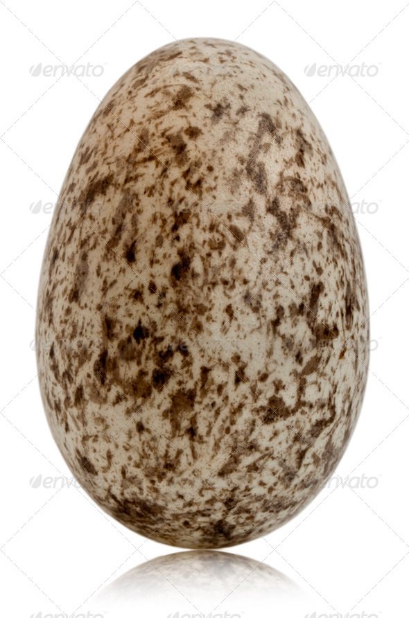 House Sparrow egg, Passer domesticus, in front of white background - Stock Photo - Images