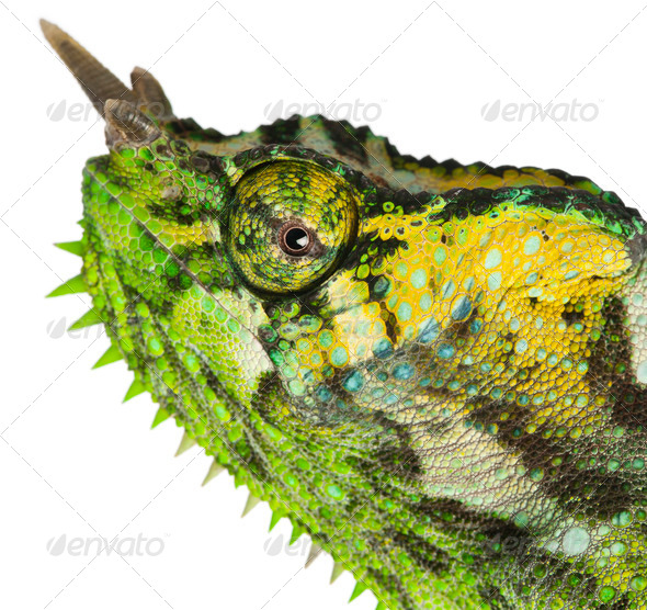Close-up of Four-horned Chameleon, Chamaeleo quadricornis, in front of white background - Stock Photo - Images