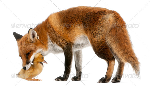 Red Fox, Vulpes vulpes, 4 years old, playing with a domestic duckling in front of white background - Stock Photo - Images