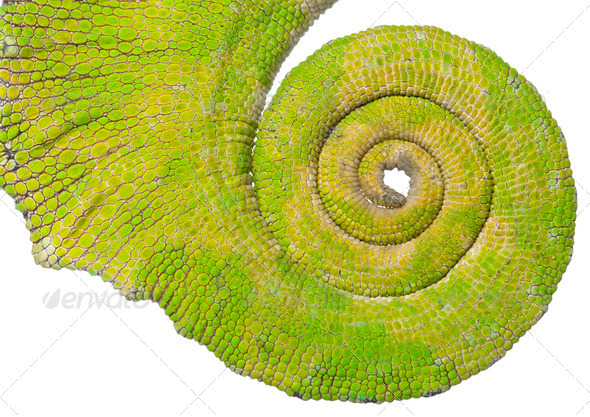 Rolled up tail of a Four-horned Chameleon, Chamaeleo quadricornis, in front of white background - Stock Photo - Images