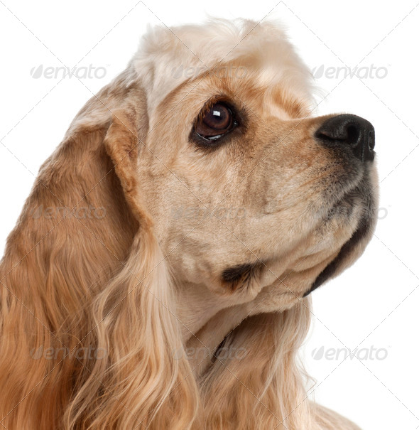 Close-up of American Cocker Spaniel puppy, 1 year old, in front of white background - Stock Photo - Images