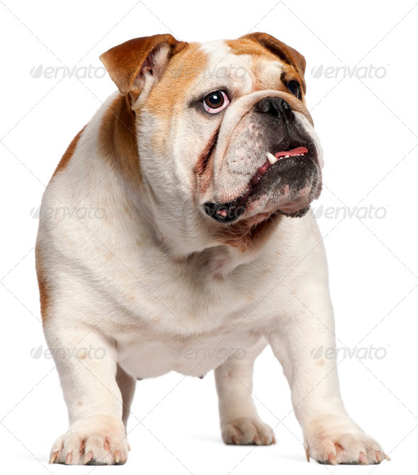English Bulldog, 11 months old, standing in front of white background - Stock Photo - Images