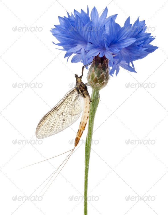 Mayfly, Ephemera danica, on flower in front of white background - Stock Photo - Images