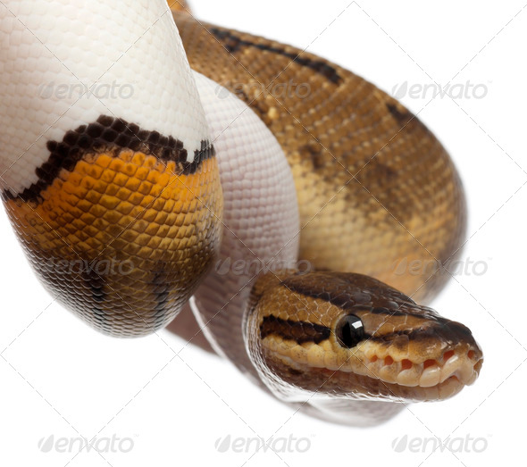 Close-up of Female Pinstripe Pied Royal python - Stock Photo - Images