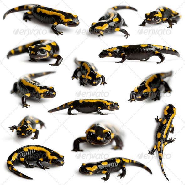 Collection of Fire salamanders, Salamandra salamandra, in front of white background - Stock Photo - Images