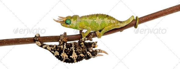 Two Mt. Meru Jackson's Chameleons - Stock Photo - Images