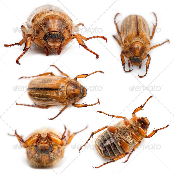 5 summer chafer or European june beetles, Amphimallon solstitiale, in front of white background - Stock Photo - Images