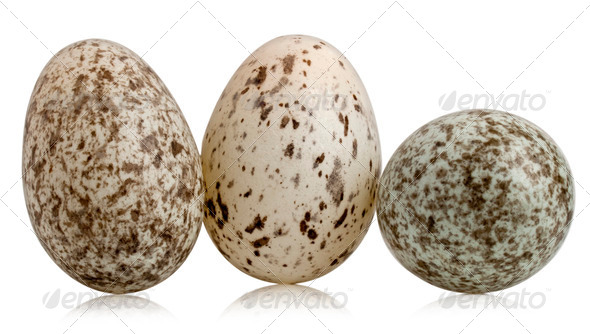 Three House Sparrow eggs, Passer domesticus, in front of white background - Stock Photo - Images