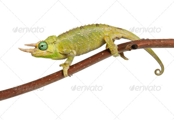 Mt. Meru Jackson's Chameleon - Stock Photo - Images
