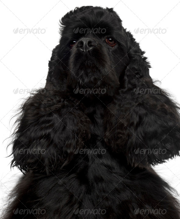 Close-up of American Cocker Spaniel, 4 years old, in front of white background - Stock Photo - Images