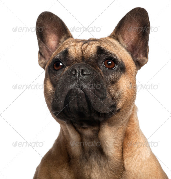 Close-up of French Bulldog, 11 months old, in front of white background - Stock Photo - Images