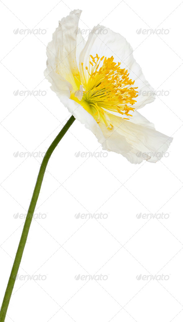 White Alpine poppy, Papaver alpinum, in front of white background - Stock Photo - Images
