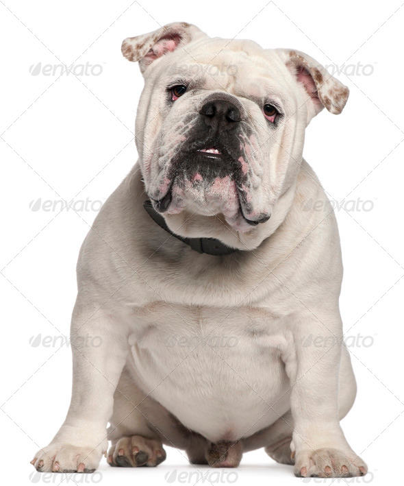 English Bulldog, 14 months old, sitting in front of white background - Stock Photo - Images