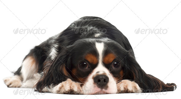Cavalier King Charles Spaniel, 14 months old, lying in front of white background - Stock Photo - Images