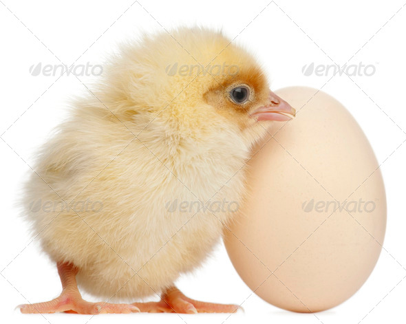 Chick with egg, 2 days old, in front of white background - Stock Photo - Images