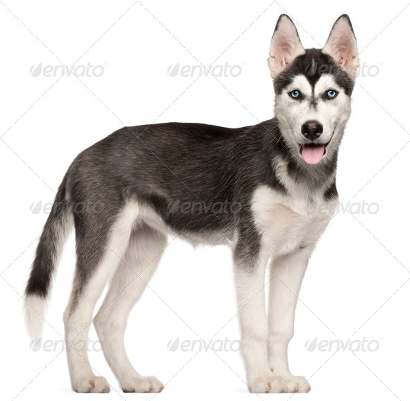 Siberian Husky puppy, 4 months old, standing in front of white background - Stock Photo - Images