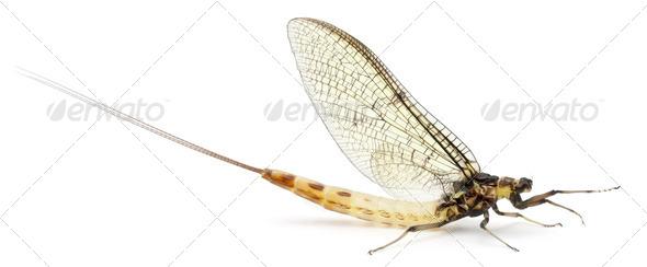 Mayfly, Ephemera danica, in front of white background - Stock Photo - Images