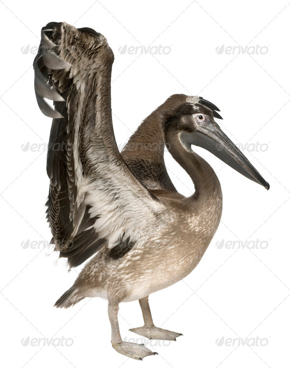 Young pelican, 2 months old, in front of white background - Stock Photo - Images