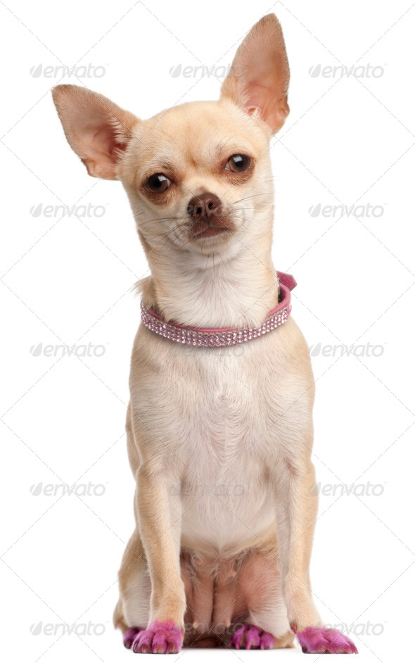 Chihuahua in pink, 11 months old, sitting in front of white background - Stock Photo - Images