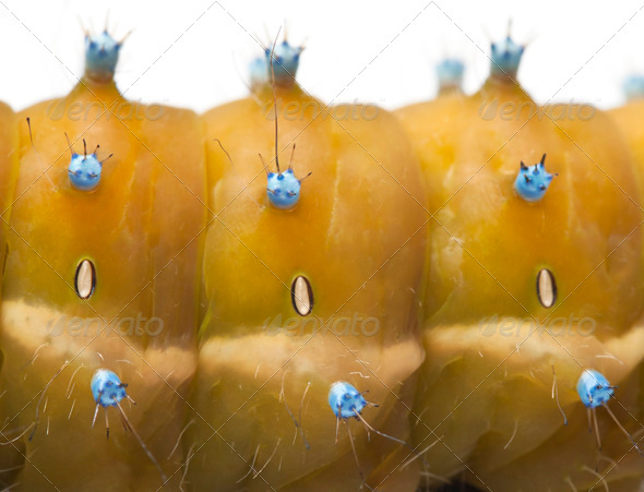 Close-up of Caterpillar of the Giant Peacock Moth, Saturnia pyri, in front of white background - Stock Photo - Images