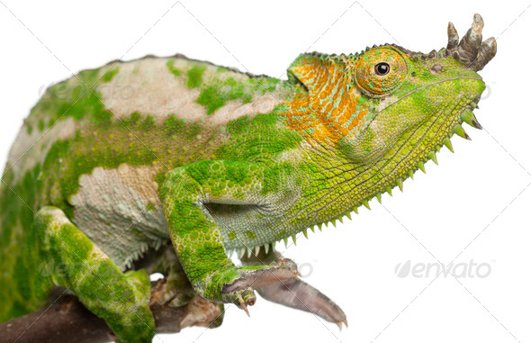 Close-up of Four-horned Chameleon, Chamaeleo quadricornis, in front of white background - Stock Photo - Images