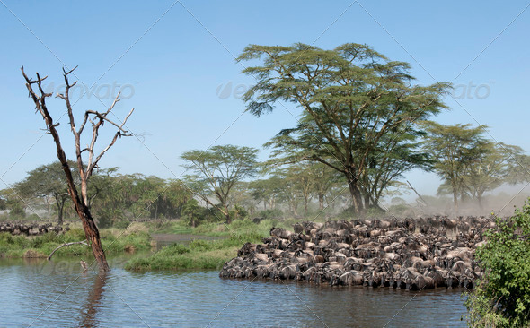 Herds of wildebeest at the Serengeti National Park, Tanzania, Africa - Stock Photo - Images
