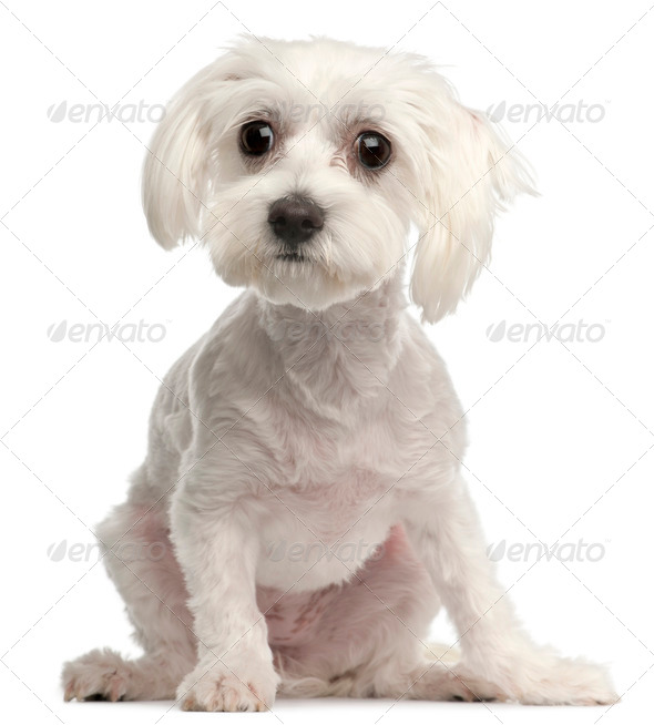 Maltese, 10 months old, sitting in front of white background - Stock Photo - Images