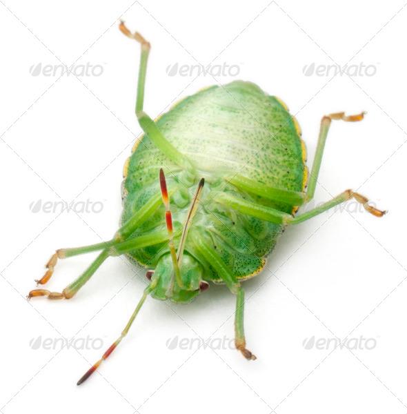 Green shield bug, Palomena prasina, in front of white background - Stock Photo - Images