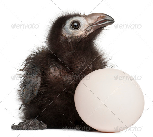 Ross's Turaco, Musophaga rossae, with his hatched egg, 1 week old, in front of white background - Stock Photo - Images
