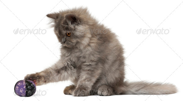 Persian kitten, 3 months old, playing with a ball in front of white background - Stock Photo - Images
